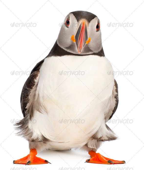 Atlantic Puffin or Common Puffin, Fratercula arctica, in front of white background - Stock Photo - Images