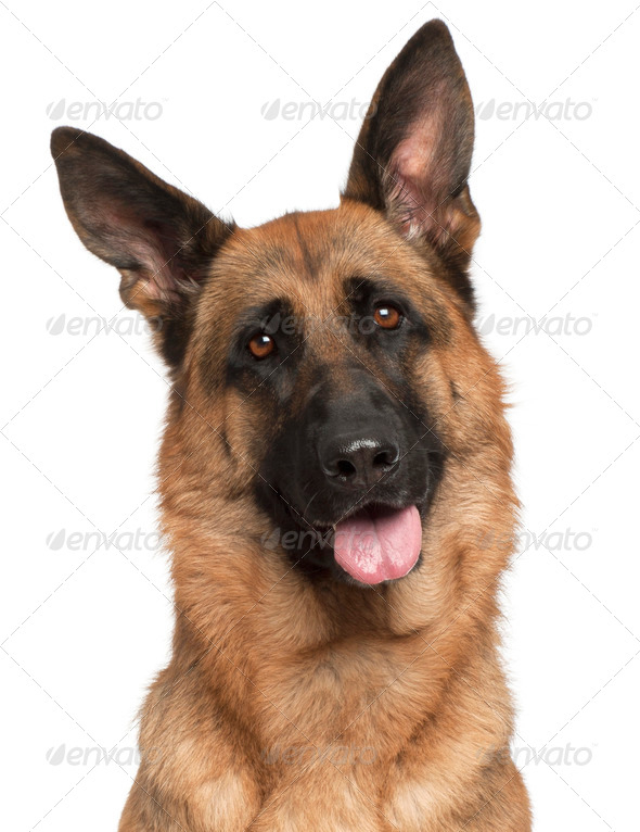 Close-up of German Shepherd Dog panting, 3 years old, in front of white background - Stock Photo - Images