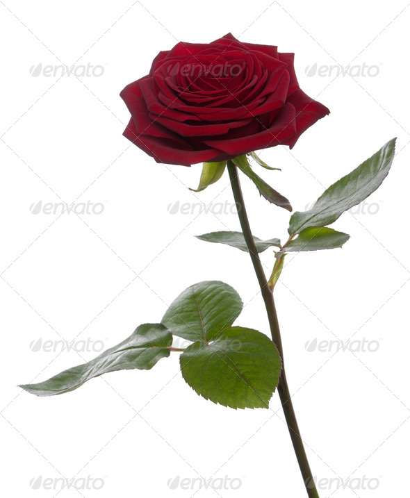 Red Naomi Rose in front of white background - Stock Photo - Images