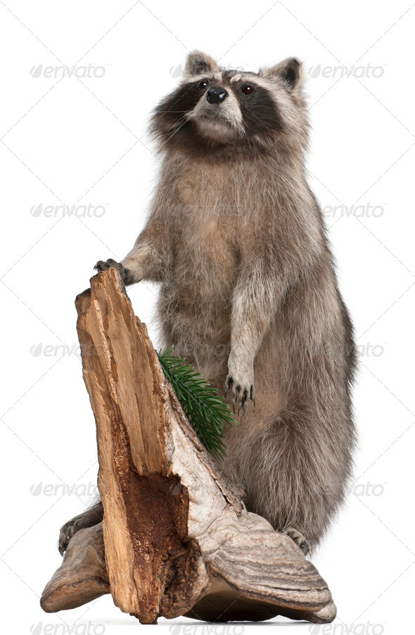 Stuffed North American raccoon also known as the common raccoon, in front of white background - Stock Photo - Images