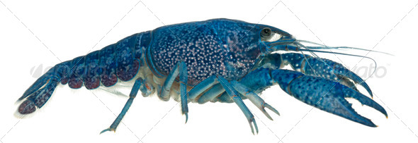 Blue crayfish also known as a Blue Florida Crayfish, Procambarus alleni, in front of white - Stock Photo - Images