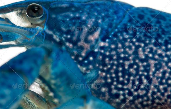 Close-up of Blue crayfish - Stock Photo - Images