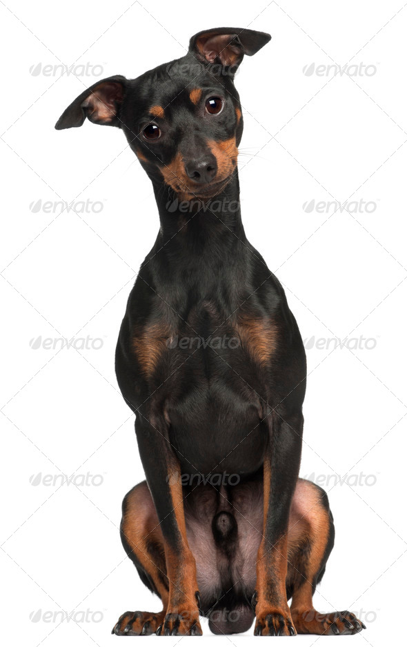 Miniature Pinscher, 1 and a half years old, sitting in front of white background - Stock Photo - Images