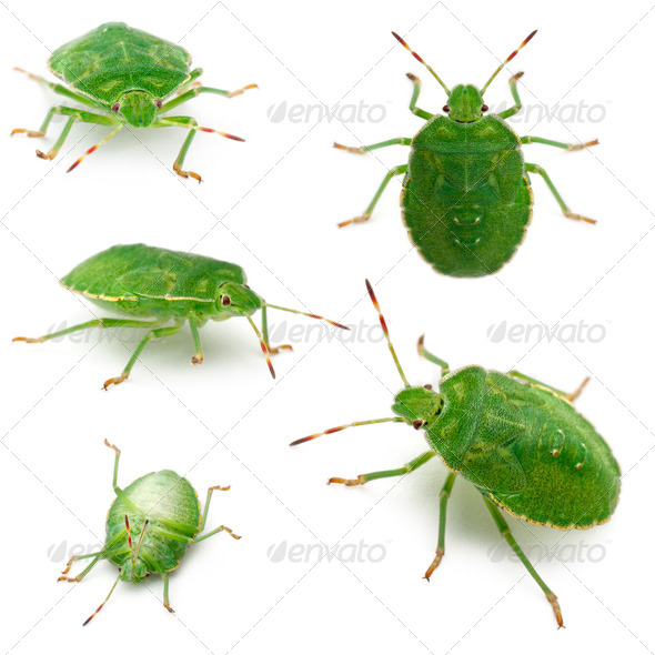 Green shield bugs, Palomena prasina, in front of white background - Stock Photo - Images