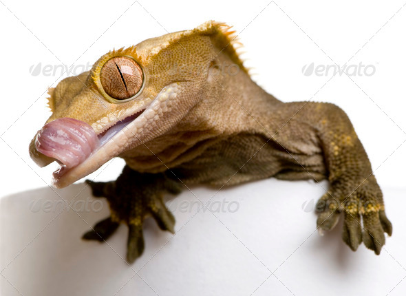 New Caledonian Crested Gecko - Stock Photo - Images