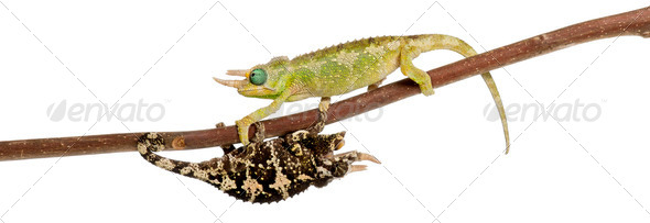 Two Mt. Meru Jackson's Chameleons - Stock Photo - Images