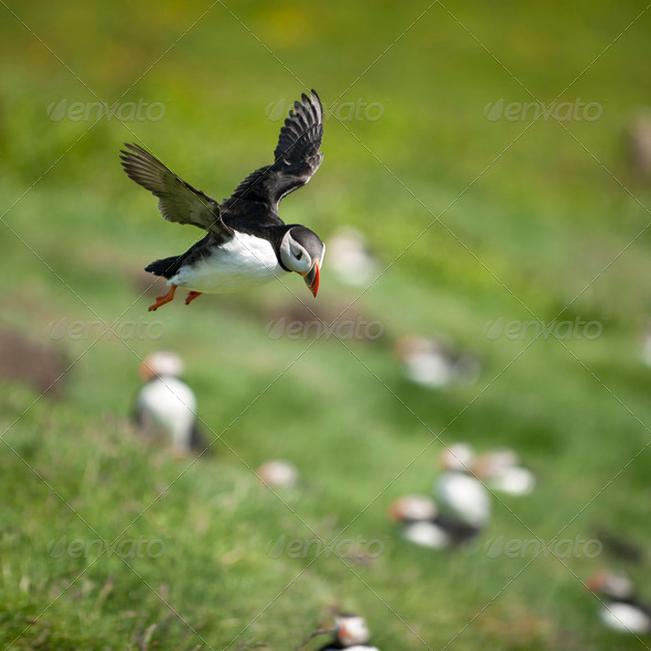 Atlantic Puffin or Common Puffin, Fratercula arctica, in flight on Mykines, Faroe Islands - Stock Photo - Images