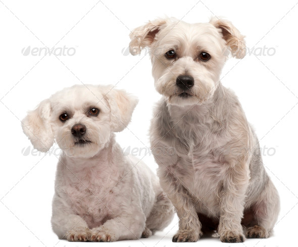 Maltese, 2 and 5 years old, in front of white background - Stock Photo - Images