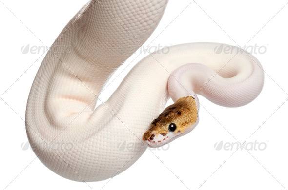 Female Pied Spider Royal python - Stock Photo - Images