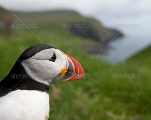 Atlantic Puffin or Common Puffin, Fratercula arctica, on Mykines, Faroe Islands - Stock Photo - Images