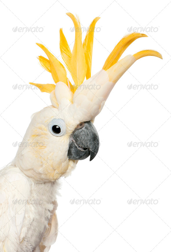 Close-up of Sulphur-crested Cockatoo, Cacatua galerita, in front of white background - Stock Photo - Images