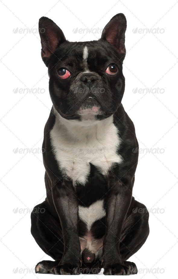French Bulldog, 18 months old, sitting in front of white background - Stock Photo - Images