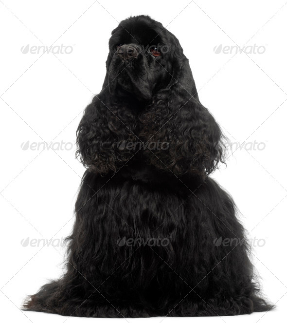 American Cocker Spaniel, 1 year old, sitting in front of white background - Stock Photo - Images