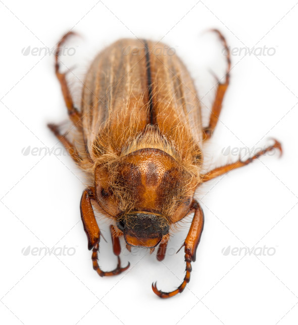 Summer chafer or European june beetle, Amphimallon solstitiale, in front of white background - Stock Photo - Images
