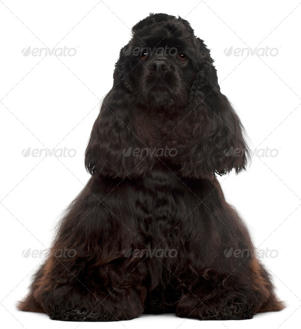 American Cocker Spaniel, 4 years old, sitting in front of white background - Stock Photo - Images