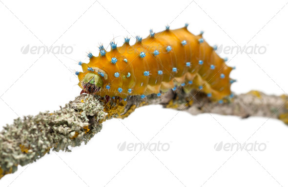 Caterpillar of the Giant Peacock Moth, Saturnia pyri, on tree branch in front of white background - Stock Photo - Images