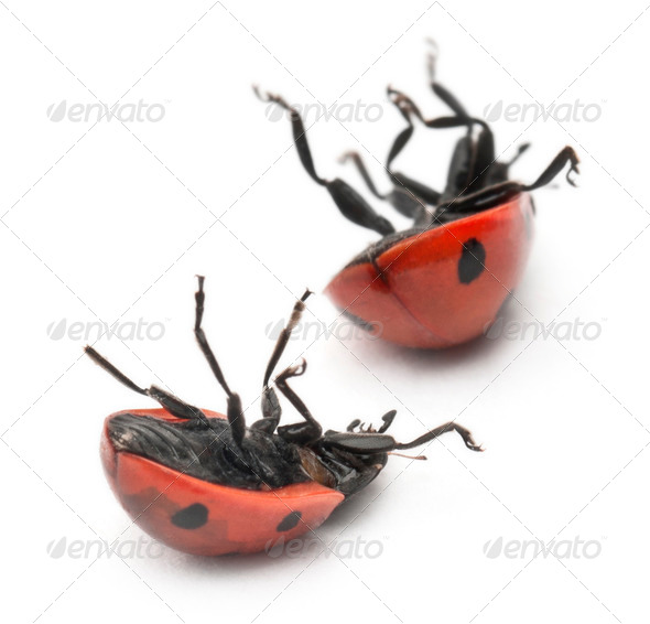Seven-spot ladybirds, Coccinella septempunctata, in front of white background - Stock Photo - Images