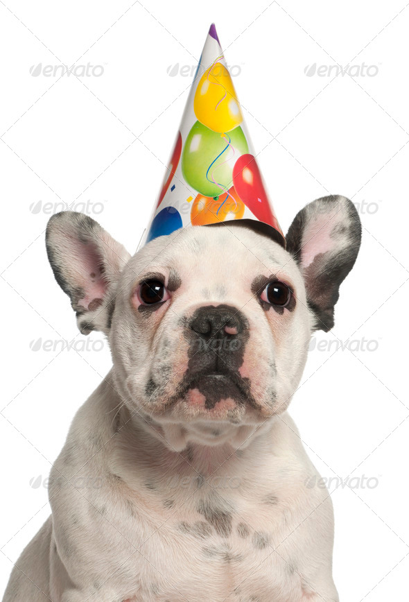French Bulldog puppy wearing birthday hat, 4 months old, in front of white background - Stock Photo - Images