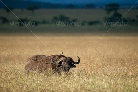 Buffalo at the Serengeti National Park, Tanzania, Africa - Stock Photo - Images