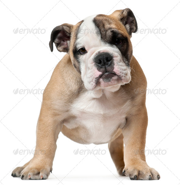English Bulldog puppy, 11 weeks old, standing in front of white background - Stock Photo - Images