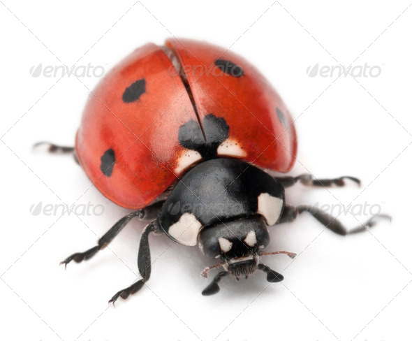 Seven-spot ladybird, Coccinella septempunctata, in front of white background - Stock Photo - Images