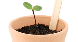 Seedling in a flowerpot