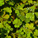 Clover And Dew Drops - VideoHive Item for Sale