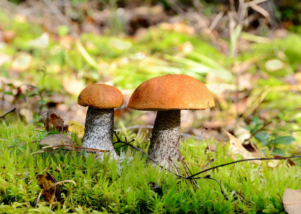Two orange cap mushrooms - Stock Photo - Images