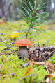 Mushroom in autumn forest