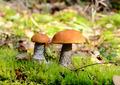 Two orange cap mushrooms