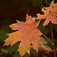 Autumn Maple Foliage - VideoHive Item for Sale