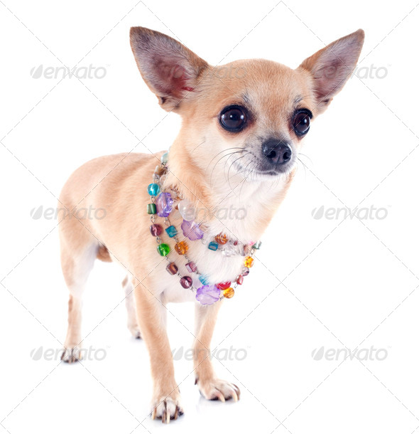 chihuahua and collar - Stock Photo - Images