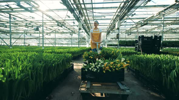 Woman Pulls A Cart With Tulips While Working In A Greenhouse With