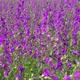 Purple Wildflowers 8 - VideoHive Item for Sale