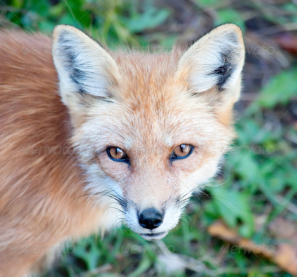 Young Red Fox Looking at Camera - Stock Photo - Images