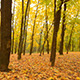 Panoramic Motion Through a Colorful Autumn Woods - VideoHive Item for Sale