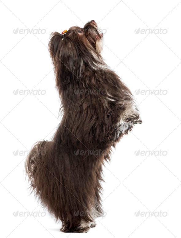 Havanese standing vertical, isolated on white - Stock Photo - Images