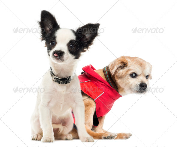 Crippled dogs, isolated on white - Stock Photo - Images
