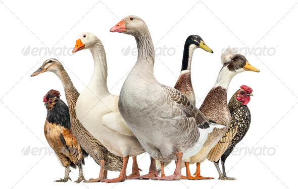Group of Ducks, Geese and Chickens, isolated on white - Stock Photo - Images