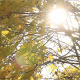 The Sun Leaks Through The Maple Leaves - VideoHive Item for Sale