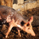 Pig Wash - VideoHive Item for Sale