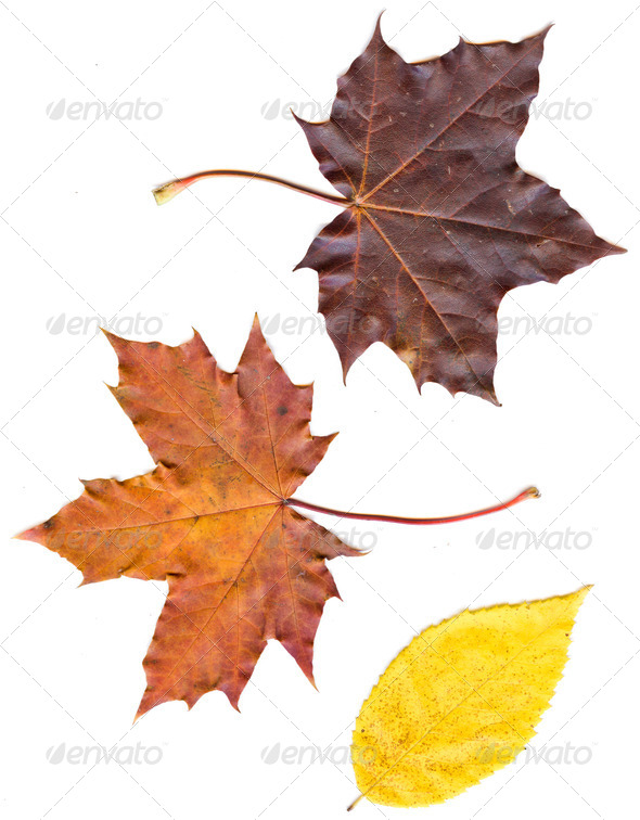 collection beautiful colorful autumn leaves isolated on white ba - Stock Photo - Images