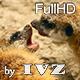 Meerkat pups. - VideoHive Item for Sale