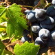 Zoom into Dark Grapes in Vineyard - VideoHive Item for Sale