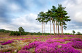 Summer Heather and Pine Trees - PhotoDune Item for Sale