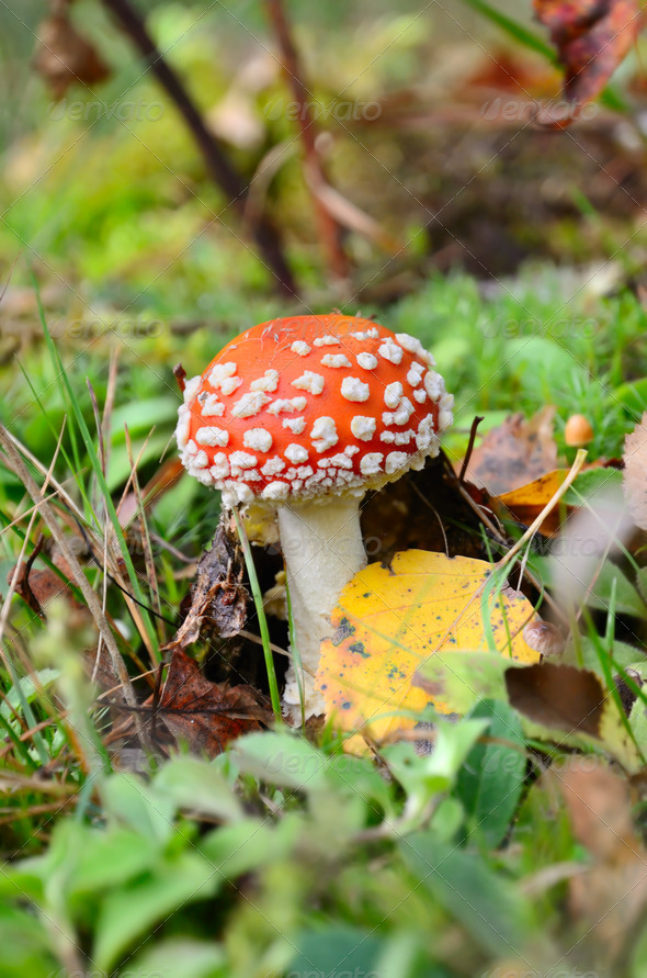 Red poisonous mushroom - Stock Photo - Images