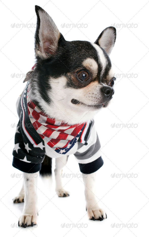 american chihuahua - Stock Photo - Images