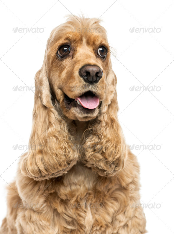 Close-up of an English Cocker Spaniel, panting, isolated on white - Stock Photo - Images
