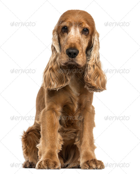 English Cocker Spaniel sitting, looking at the camera, isolated on white - Stock Photo - Images