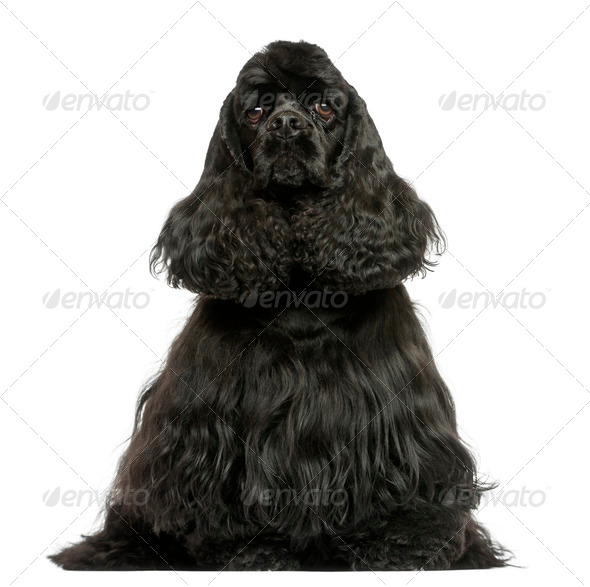 Front view of a English Cocker Spaniel sitting, isolated on white - Stock Photo - Images